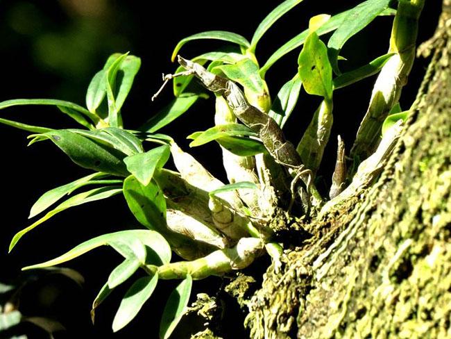 铁皮石斛怎么吃 八种吃法功效也完全不同