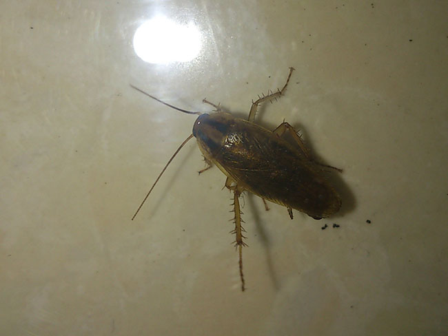 蟑螂怎么消灭最彻底 只需三个天然土方就能赶尽杀绝