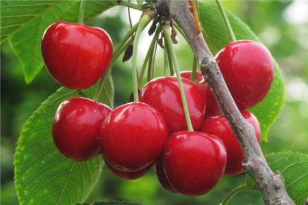 孕妇能不能吃樱桃,樱桃的饮食事项