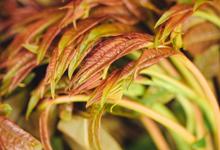 春天吃香椿有哪些禁忌 吃香椿应该这样吃才健康营养